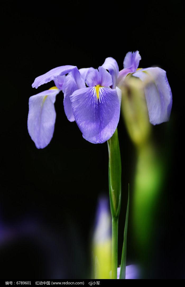 蓝色鸢尾花花语和图片图片