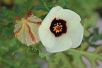 淡黄色小花与花蕾花