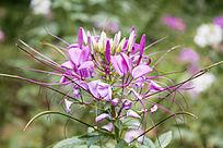 淡紫色的醉蝶花
