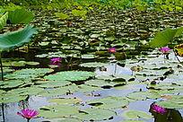 荷花池的睡莲