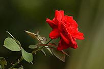 红玫瑰图片特写照片