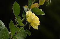 黄玫瑰自然风景图