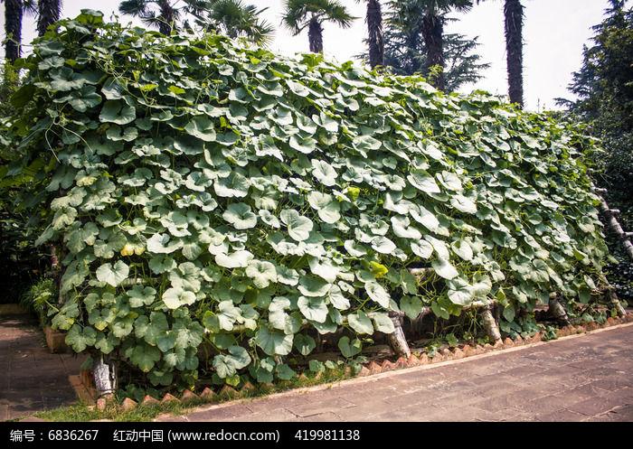 南瓜藤蔓木架图片
