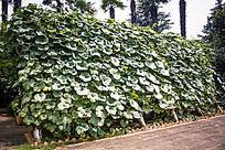南瓜藤蔓木架