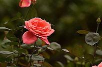 怒放的一枝独秀红玫瑰图片