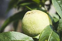 树枝上的一个绿色桃子