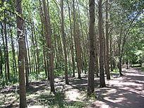 阳光明媚下的松树群