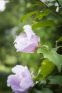 淡紫色的木槿花花朵