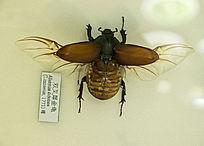 双叉犀金龟标本