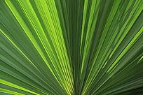 棕榈叶子纹理