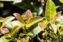 茶园的嫩绿茶叶