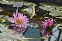 粉色水芙蓉莲花图片