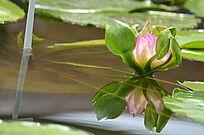 光影水芙蓉水莲花花骨朵风景图片