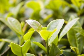 嫩绿的茶叶叶子
