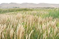 沙漠中的耐旱草丛