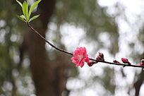 桃花独枝开放