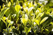 阳光下的一片茶叶