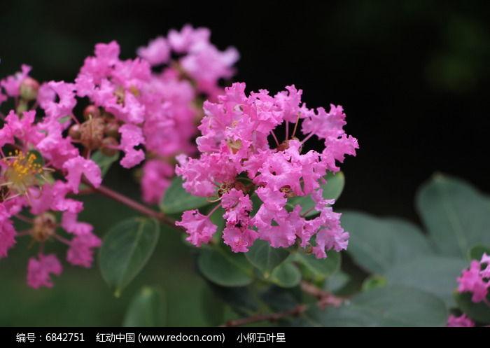 艳丽的紫薇图片