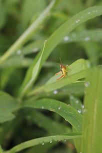 草叶上的蚂蚱