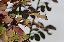 吃叶子的蜜蜂