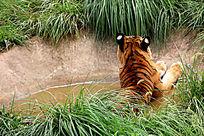 水中的老虎背影