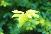 荧光般翠绿的叶子