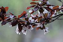 一枝紫叶李