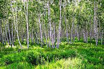 白桦林绿草地