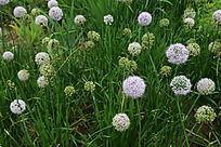 刺儿菜紫白色的花球丛