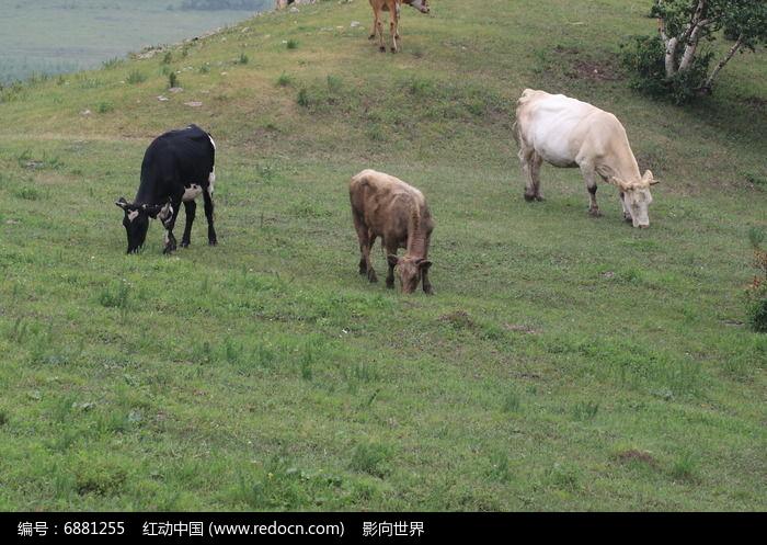正在吃草的三头牛图片