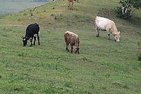 正在吃草的三头牛