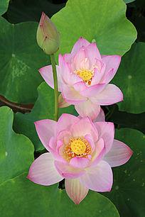 两朵盛开的粉莲花与花蕾