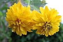 两朵盛开的黄色花朵