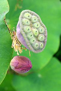 莲蓬与花蕾