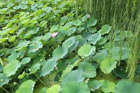 绿色的荷塘
