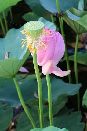 清新的莲蓬与绽放的花朵