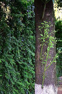树芽依偎大树