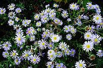 野生植物马兰