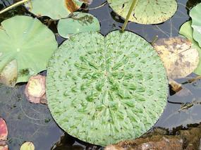 河面褶皱的荷花叶