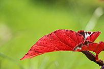 美丽的红色叶子