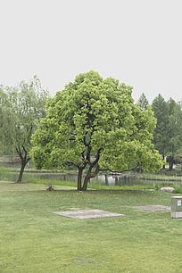 一颗茂盛香樟树