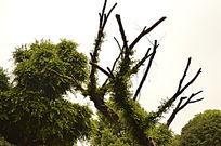 枯树枝奇特造型