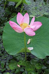 一朵盛开的荷花与飘落的花瓣
