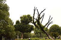 自然造型枯树枝