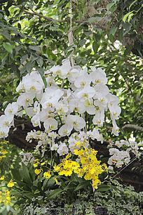 白色黄色兰花