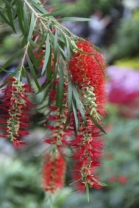 垂枝红千层花