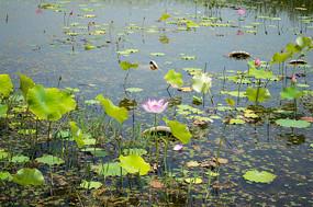 阳光下池塘里的荷花
