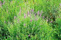 紫色花卉花草