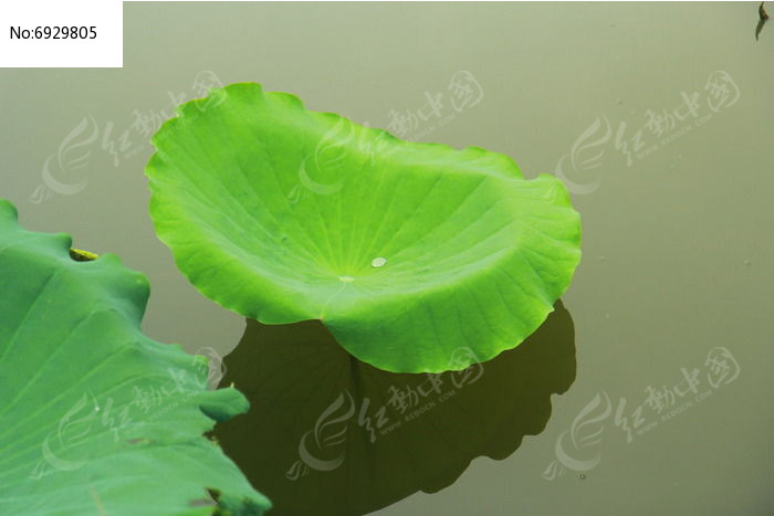 池塘荷叶露珠图片