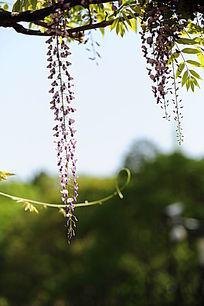 垂挂的紫藤